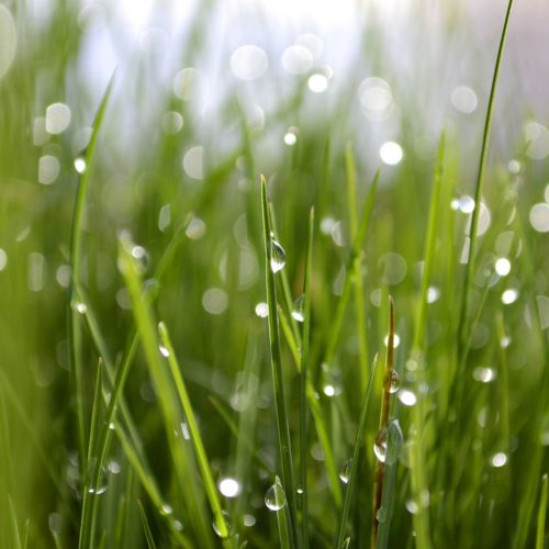 new-lush-green-grass-wet-with-early-morning-dew-in-the-spring-background-copy-space-fresh-growth-new_t20_WKzjV1